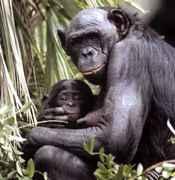 bonobopic.jpg