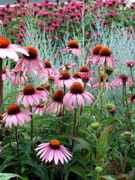 Echinacea_Magnus.jpg