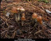 Magic Mushrooms Perth, Western Australia - Mushroom Hunting and