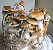 Strain Questions HERE ONLY! - Mushroom Cultivation Archive