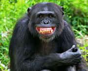 chimp3.jpg