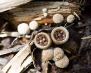 Birds_Nest_fungus_1.2_UPLOAD.jpg