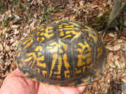 Eastern-Box-Turtle.jpg