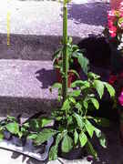 mimosa_hostilis_seedlings_006.jpg