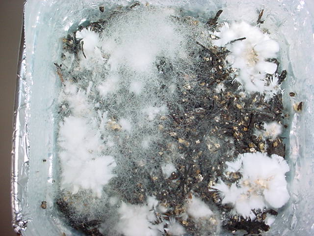 Mold Mycelium What are...