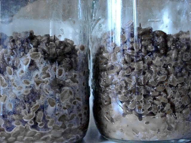 Shroomery What Are Common Contaminants Of The Mushroom