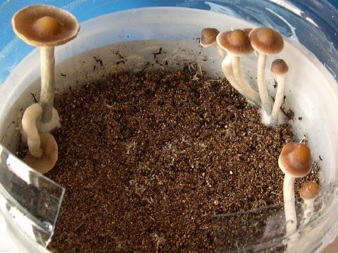 psilocybe cubensis cultivation guide 2017