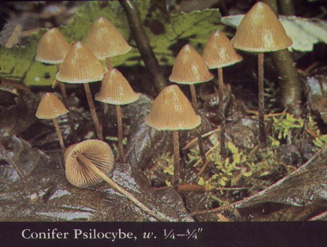 magic mushroom identification for - photo #24
